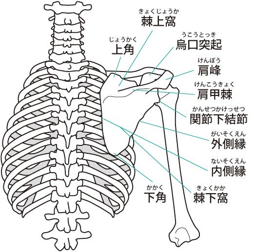 肩の骨格構造