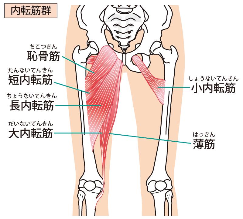 内転筋の構造