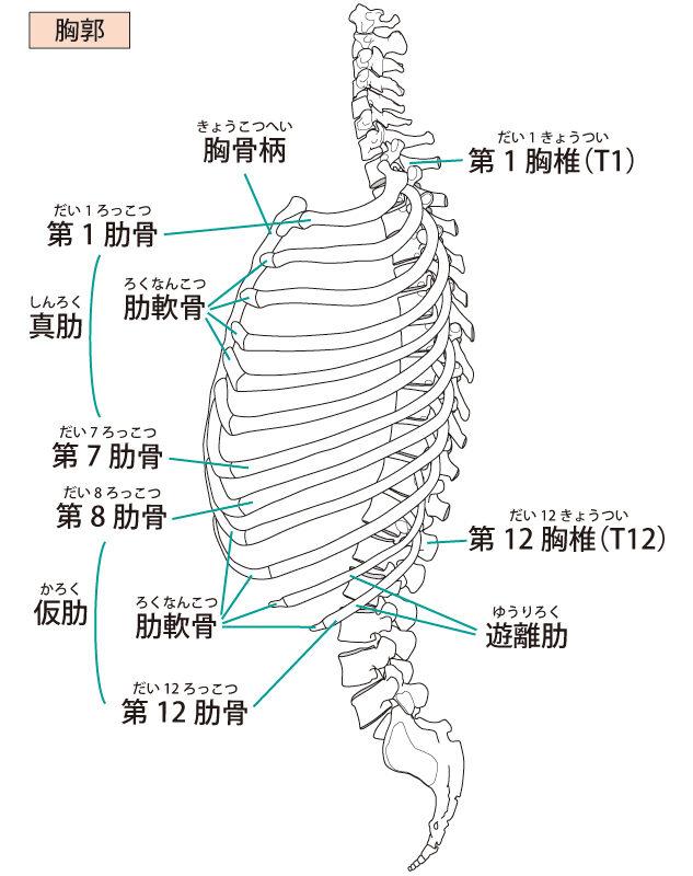 肋骨と筋肉の関係図