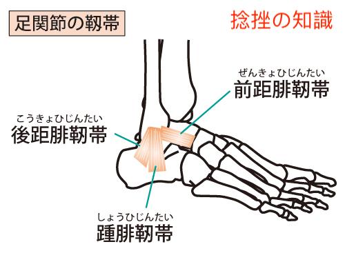 前距腓靭帯、踵腓靭帯、後距腓靭帯