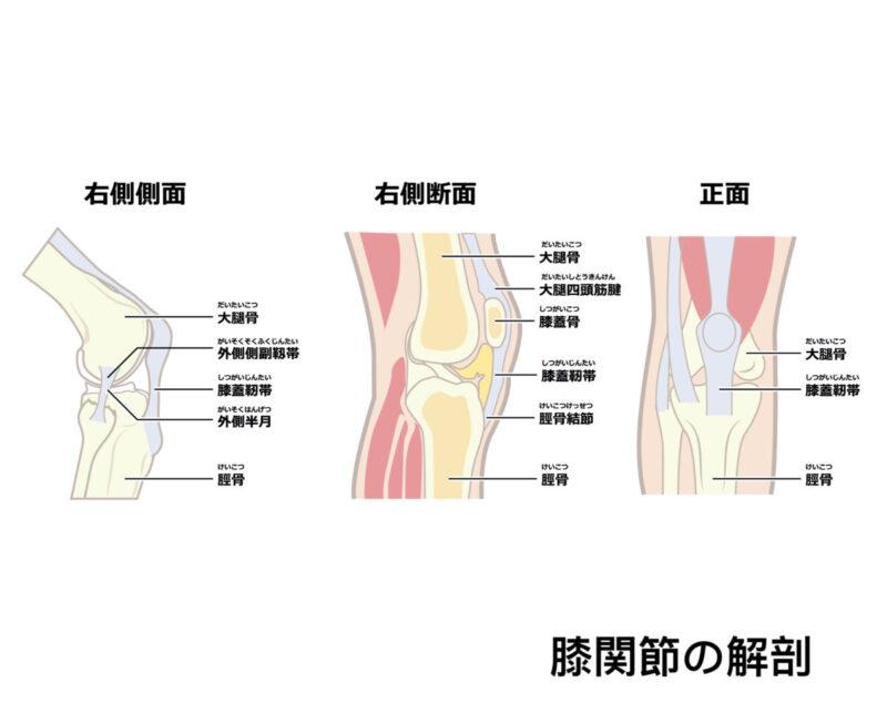 膝関節の解剖
