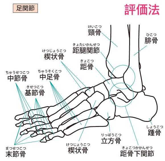 足関節の解剖学