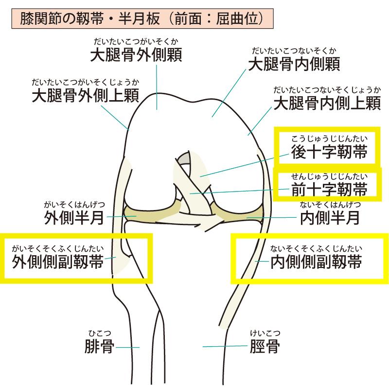前十字靭帯の機能解剖