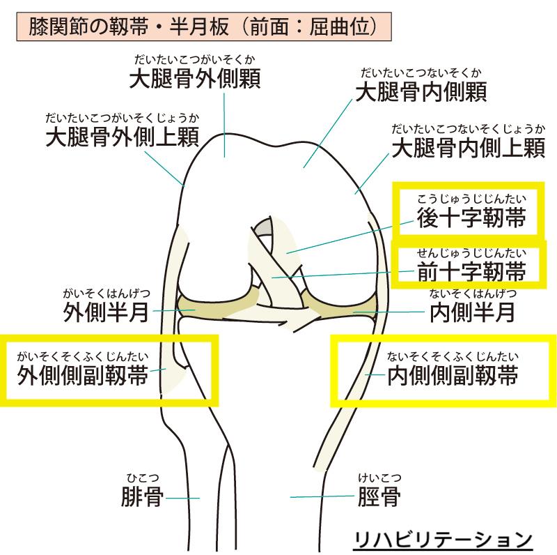 後十字靭帯の機能解剖
