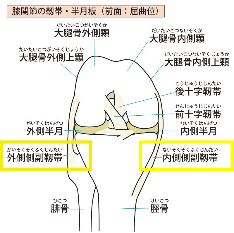 内側・外側側副靭帯の機能解剖