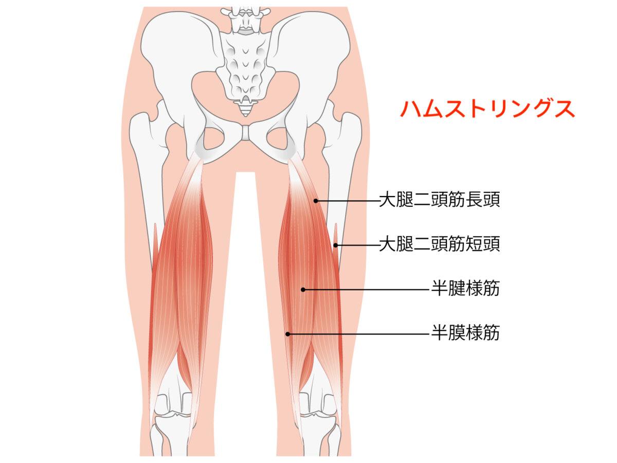 ハムストリングスの基本的な解剖