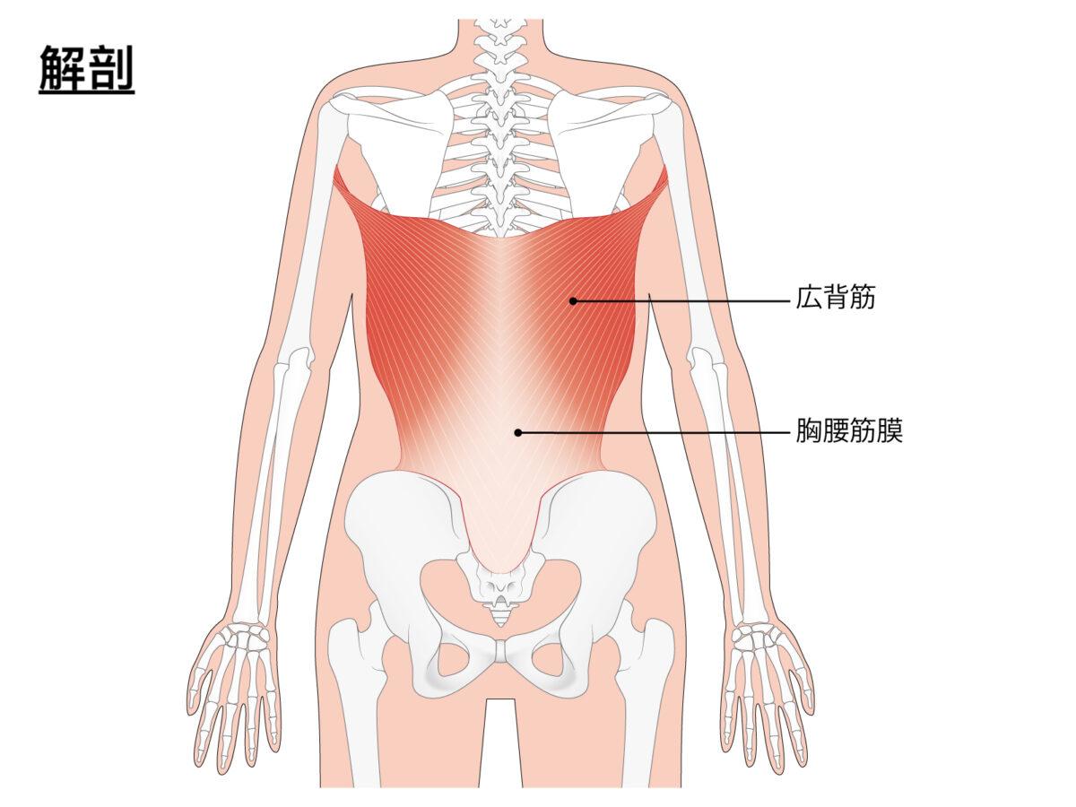 広背筋の解剖学