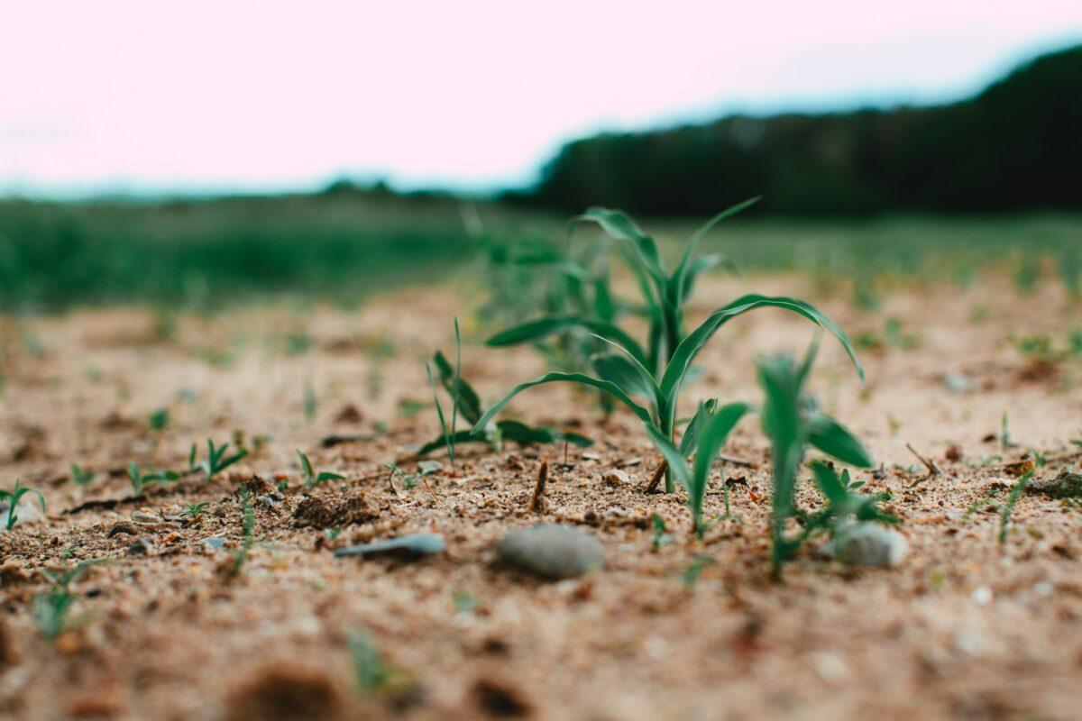 GMO作物